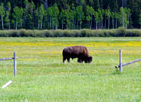 Grazing Bison, Indian Overlook, Grand Tetons