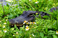 Alligator, Everglades National Park